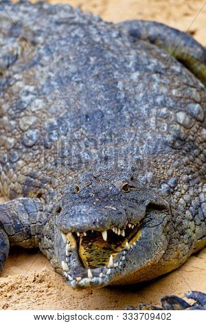 A Beautiful Specimen Of Nile Crocodile, Crocodylus Niloticus