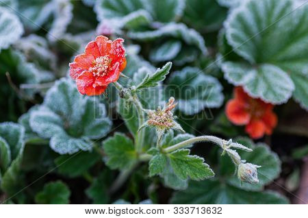 Blooming Gravilat Chilian Red Geum Is Covered With Hoarfrost After The First Autumn Frosts.