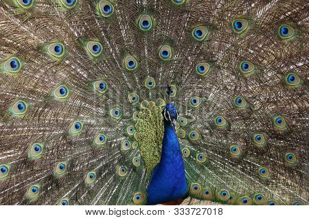 Peacock Opened Its Beautiful Tail. Colored Feathers On The Tail Of A Peacock.