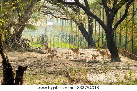 A Herd Of Fallow Deer Or Chital ( Hoofed Ruminant Mammals - Cervidae Family) Spotted In The Midst Of