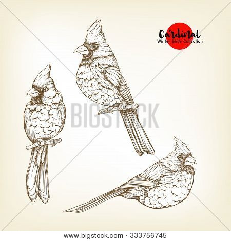 Cardinal Birds - A Symbol Of Christmas. Set Of Elements For Design Isolated On White Background..rea