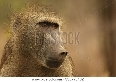 Baboon (papio Ursinus) Portrait In Kruger Np. Close To Camera. Dry Background. Calm Force, Male.