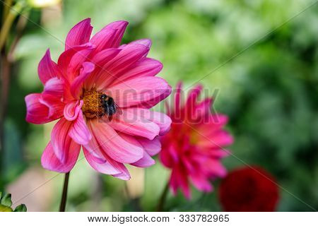 View Of Bumble Bee On The Pink Aster Flower In The Summer Garden. Photography Of Nature And Wildlife
