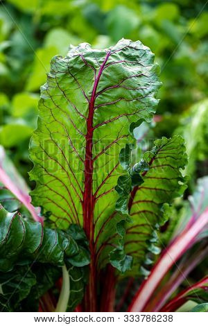 Close-up Of Pink-green Stemmed Chard In The Summer Time Vegetable Garden. Macro Photography Of Livel