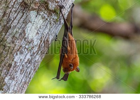 Sleeping Bat Hanging On A Tree In Lokobe Nature Strict Reserve In Madagascar, Nosy Be, Africa