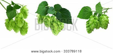 Young Branches Of Hops With Leaves. Hops Herb For Medicinal Herb Or Phytotherapy. Isolated Hops Plan