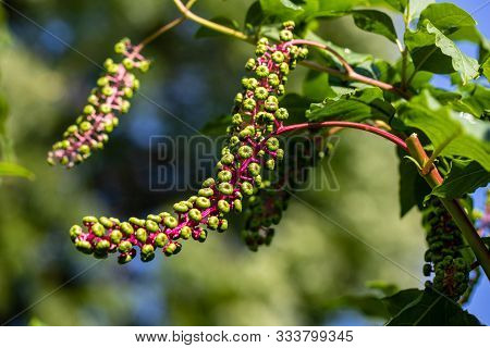 View Of Pokeweeds Phytolacca Acinosa Foliage And Fruit In The Summer Garden. Macro Photography Of Li