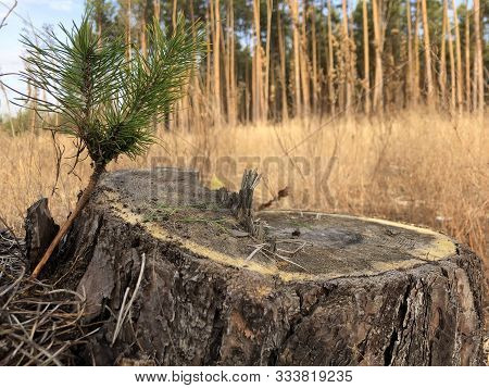 Stump Of A Felled Tree In A Pine Forest. Sawn, Young Pine In A Coniferous Forest. Concept: Deforesta