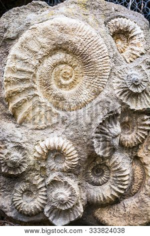 Group Of Ammonites In One Big Stone