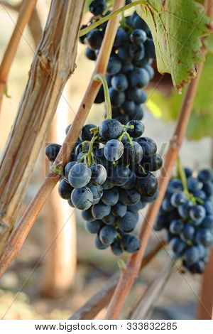 Black Grapes Bunches In Grape Harvesting Time For Food Or Wine Making. Cabernet Franc, Sauvignon, Gr
