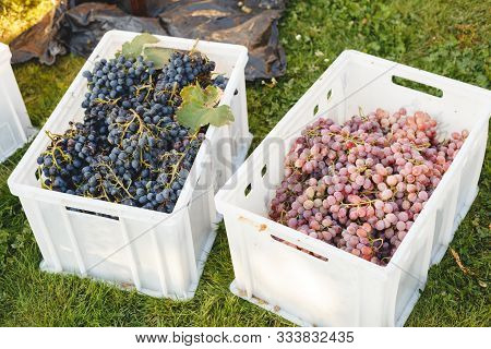 Different Grape Varieties For Winemaking Or Sale In Boxes During The Harvest. Black And Pink Table G