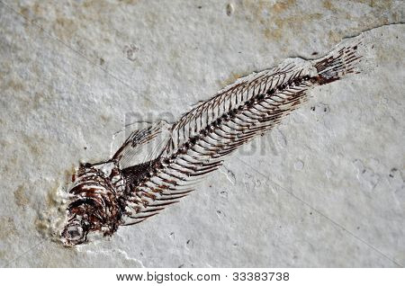 poster of Sarmatian fossil fish skeleton with bone details