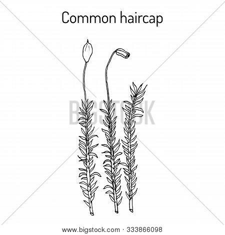 Common Haircap Moss Polytrichum Commune , Medicinal Plant. Hand Drawn Botanical Vector Illustration