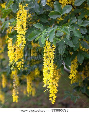 Blooming Laburnum Tree (golden Chain, Golden Rain). Yellow Flowers On The Branches.