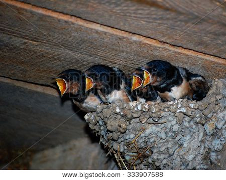 Yellow Open-mouthed Swallow Birds Shout In Nest. Hungry Martin Birds Screaming For Food Waiting Moth
