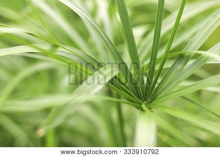 Green Papyrus Background. The Tops And Leaves Of Papyrus.