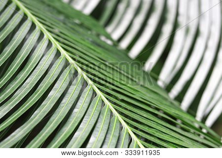 Petioles And Dark Green Leaves Of Cycad Family Tree With Blurred Background.