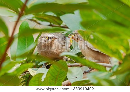 Large Grey Babbler Feeding Chick On A Tree