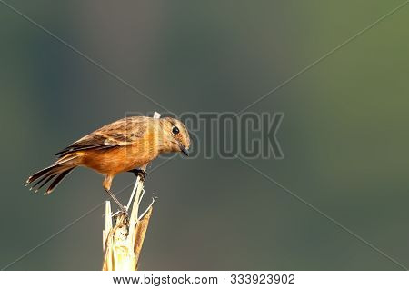 A Siberian Stonechat On A Shrub Watching Curiously