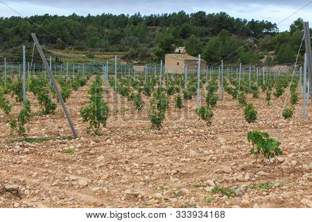 Group Of Wine Vines In The Field In The Mountain