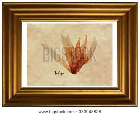 Herbarium From Pressed And Dried Flower Of Tulips (tulipa) In The Frame