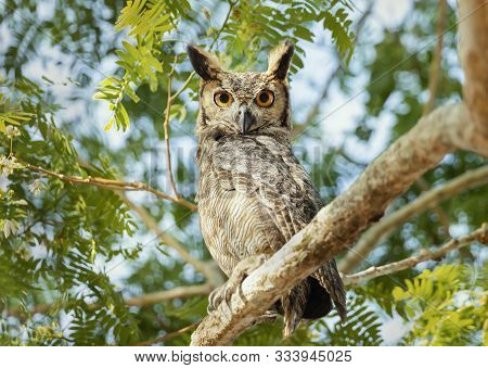 Close up of Great horned owl (Bubo virginianus nacurutu) perched in a tree, Pantanal, Brazil. poster