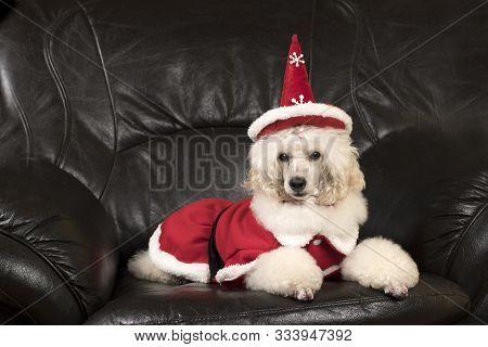 Beautiful, Elegant, White Poodle Lying On Black Sofa  With Christmas Hat