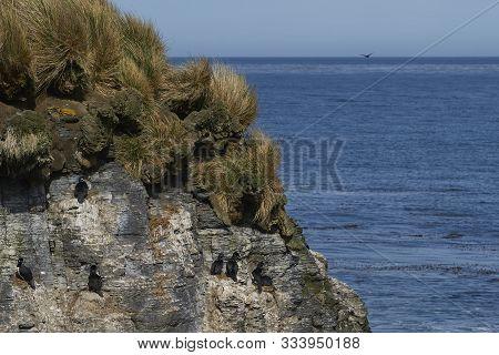 Rock Shag (phalacrocorax Magellanicus) Nesting On The Cliffs Of Bleaker Island In The Falkland Islan
