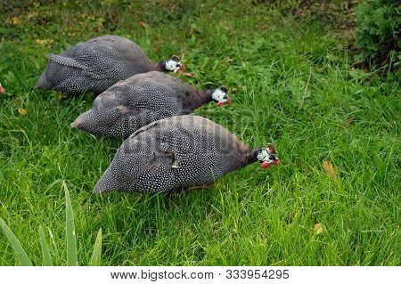 Three Guinea Fowl On A Background Of Green Grass Close-up. In The Autumn Park Among Green Grass Walk