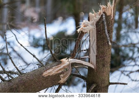 Kinky Trees - Snow Load And Storm Damage, Closeup Damaged Wood