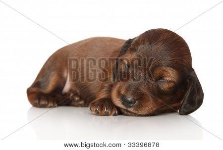 Dachshund Puppy Sleep On White Background