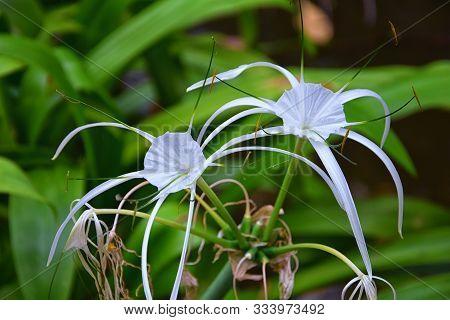 White Crinum Latifolium Lily Flower, Herbaceous Perennial Flowering Plant In The Amaryllis Family, A