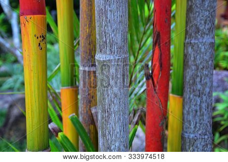 Bamboo Forest Background. Multi Color Bright Red, Green, Orange, Yellow Bamboo Plant. Bamboo Trees I