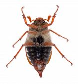 Chafer tips over on a light gray background poster