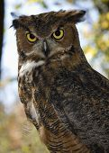 Male Great Horned Owl outdoors staring intently wooded out of focus background poster