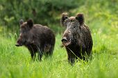 Two fierce wild boars standing together in wilderness in summertime. poster