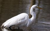 Great white egret walks on a shallow lake in search of standing gaping fish poster
