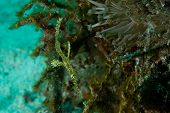A ghost pipe fish hovers over coral looking for food. poster
