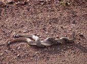 two western diamondbacks in a mating tussle poster