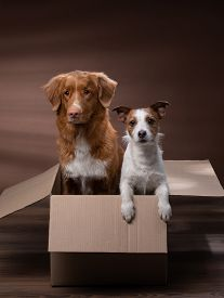 Dog In A Box, Moving. Pet At Home. Funny Jack Russell Terrier And Nova Scotia Duck Tolling Retriever