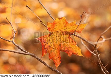 One Bright Orange Maple Leaf On Bare Autumn Branches. Beautiful Autumn Background. Close-up. Copy Sp
