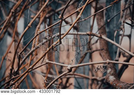 Dry Vine Branches. Autumn Or Winter In Vineyards. Hedge Made Of Dried Twisted Twigs.