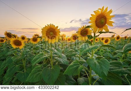 Meadow of sunflower at sunset. Composition of nature.