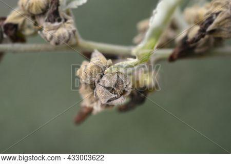 Common Marsh Mallow Seeds - Latin Name - Althaea Officinalis
