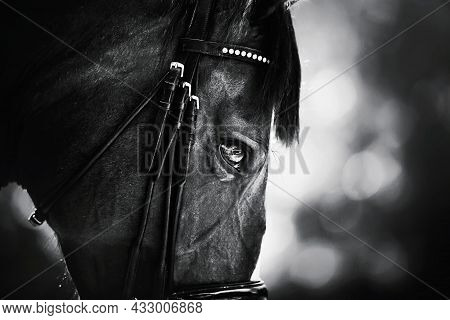 A Black-and-white Portrait Of A Beautiful Horse With A Dark Mane And A Bridle On Its Muzzle. Equestr