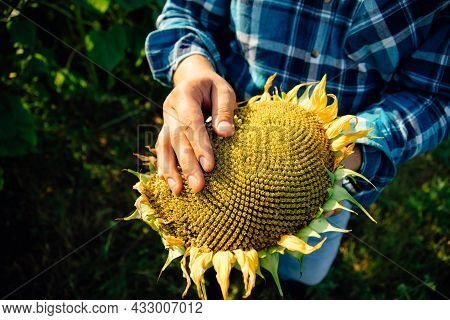 Close Up View Of A Sunflower Farmers Hands. The Farmer Examines The Quality Of The Sunflower Crop.