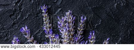 Lavender Flowers In Bloom Panorama, Lavandula Plants, Shot From The Top On A Black Background