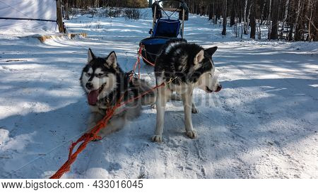 A Pair Of Black And White Siberian Huskies Are Resting On A Snow-covered Forest Road. The Dog Is Har