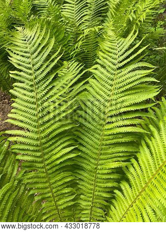 Green Fern Leaves. Tropical Plant Texture. Summer