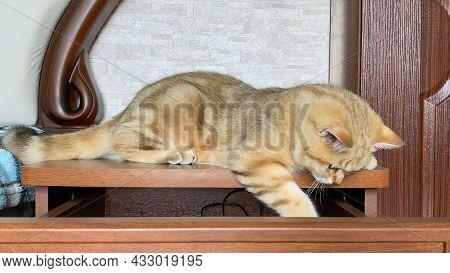 Ginger Striped Kitten Lying On Blue Checkered Blanket. Golden Chinchilla Cat.